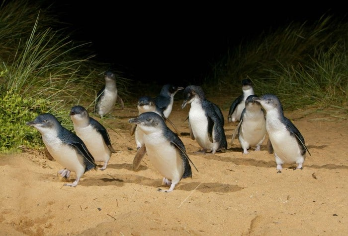 penguin_parade_phillipisland